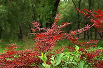 绿色背景前的红叶