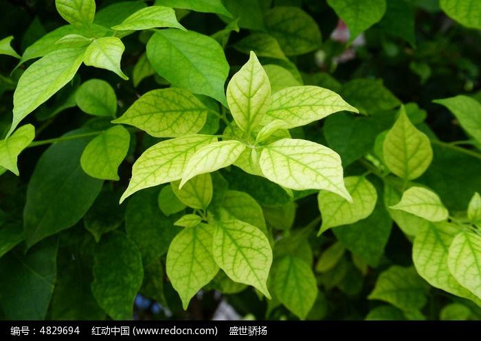 原创摄影图 动物植物 树木枝叶 嫩绿叶子  请您分享: 红动网提供树木