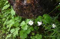 石缝下的白菊