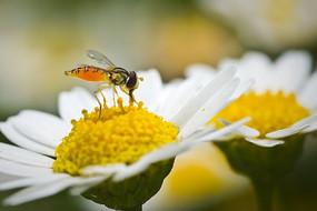 小白花上的食蚜蝇
