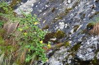 岩缝里生长的灌木野花