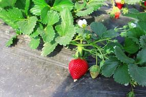 草莓园露出的红草莓
