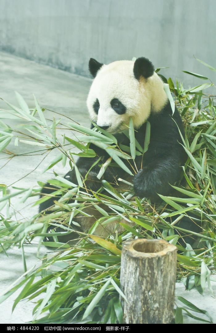 吃竹子的大熊猫图片