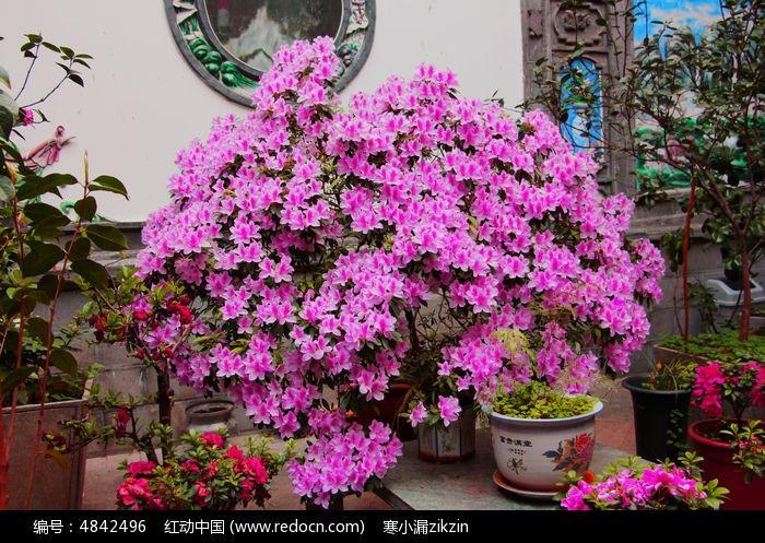 花类图素材杜鹃花