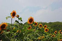 很多向日葵摄影图片