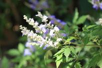 三串淡紫色小花