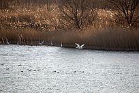 湿地河流鹭鸟栖息
