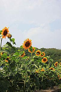 向日葵花朵摄影图片