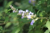 一串淡紫色小花