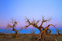 额济纳怪树林苍凉之美