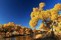 额济纳河畔的胡杨林