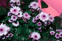 粉嫩的菊花