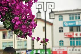 丽江古城旁边的花
