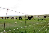 透过围栏看牛和鸡