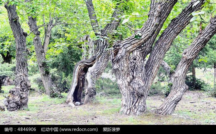 姿态优美的古树群图片,高清大图_树木枝叶素材