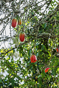 挂在树上小灯笼果