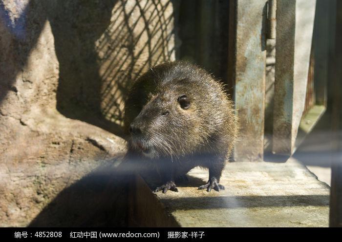 河狸鼠图片,高清大图_陆地动物素材