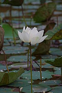荷塘开放的白莲花