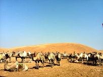 沙漠中的骆驼群