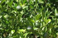 生长在嫩绿的橘子树
