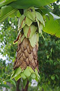 硕大的香蕉花
