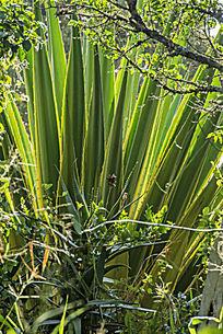 原始森林里的棕榈树和芦荟