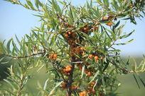 果实累累的沙棘树
