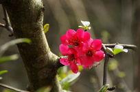 开放的桔梗海棠