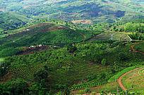 青绿的茶山