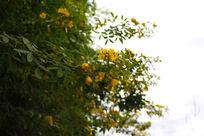 树枝间绽放的黄色花