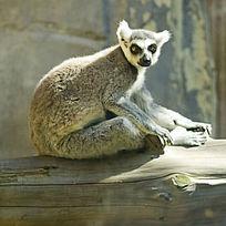 休息的节尾狐猴