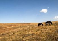 草原上的马在吃草