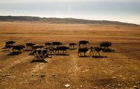 草原上的一群奶牛