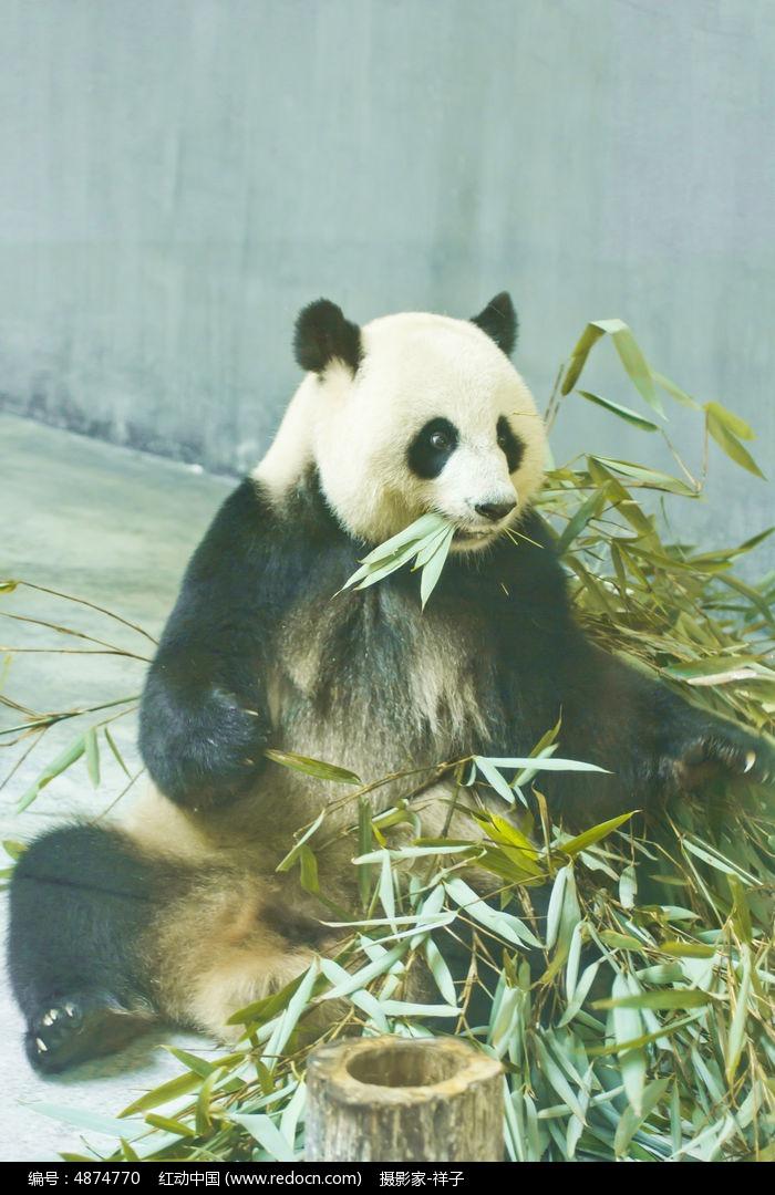 大熊猫图片,高清大图_陆地动物素材