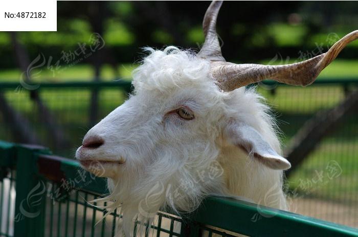 很可爱的羊图片