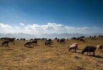 高原上的羊群