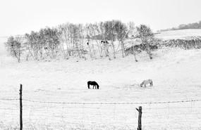 雪地里的两匹马