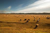 一群吃草的绵羊