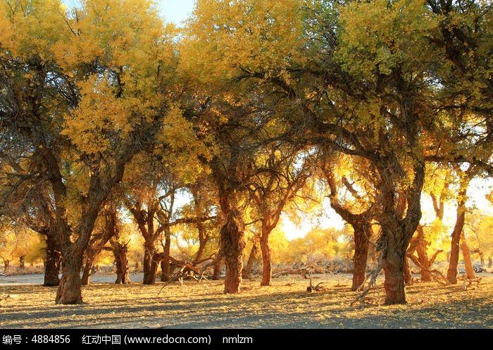 晨光照耀胡杨树图片,高清大图_森林树林素材