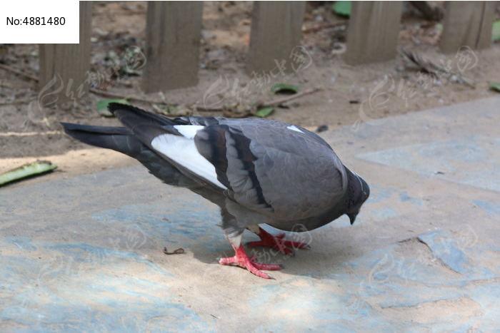 压力鸽鹦鹉鸟动物700_497教鸽子山鸟类说话图片