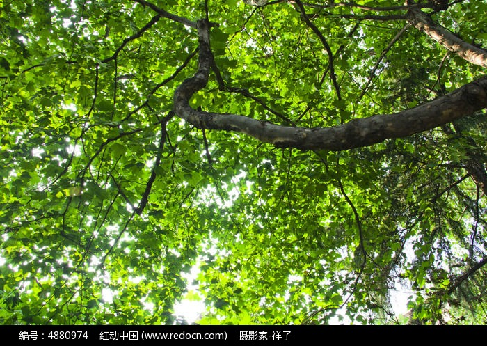 法国梧桐图片,高清大图_树木枝叶素材