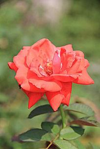 俯拍一朵玫瑰花