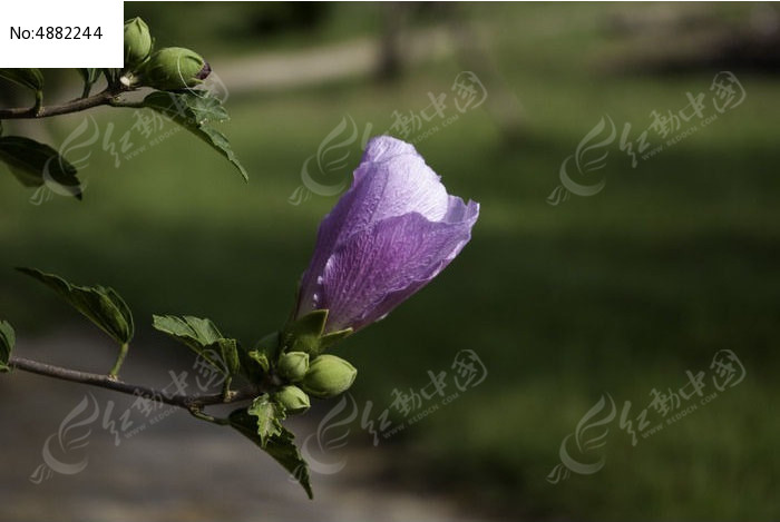 快开放的木槿花蕾图片,高清大图_花卉花草素材
