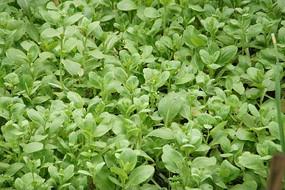 绿绿的小白菜