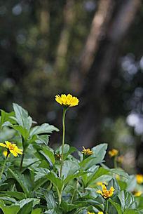 冒出头小黄菊
