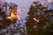 水面上的红色落叶