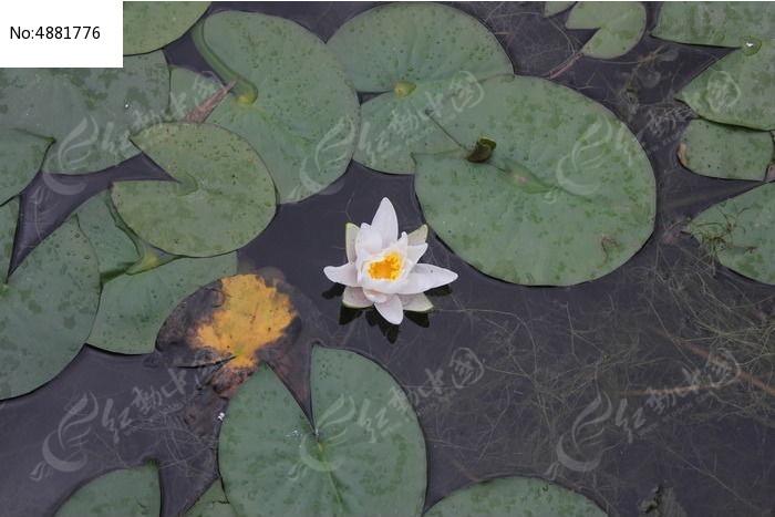 原创摄影图 动物植物 花卉花草 水中荷花图