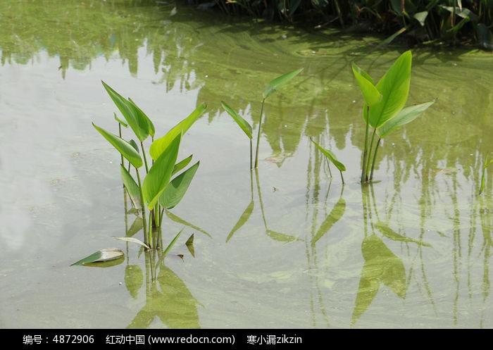 原创摄影图 动物植物 花卉花草 水中生长的植物