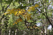 夏季的枫树叶图