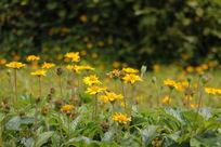 小径盛开的小黄花